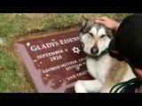 Смотреть невозможно! Собака плачет на могиле своего хозяина.